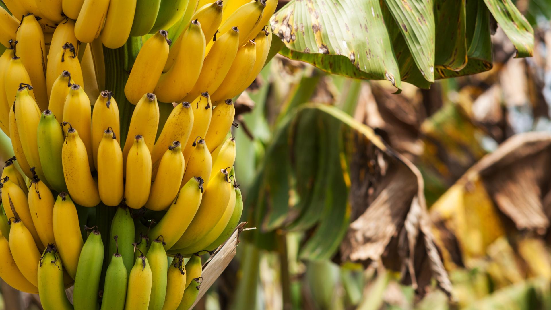 banane bienfaits sante cosmetique